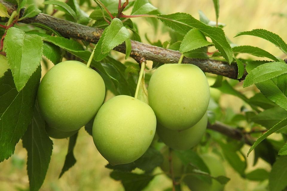 Ratgeber Obstbaum Schneiden Wann Und Wie Saegeblatt Shop Blog